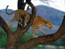 Leopard dans un arbre