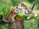 animal cats fight 0005