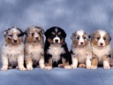 Chiens Chiots Wallpaper HD (7)