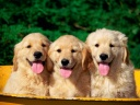 Chiens Chiots Wallpaper HD (14)