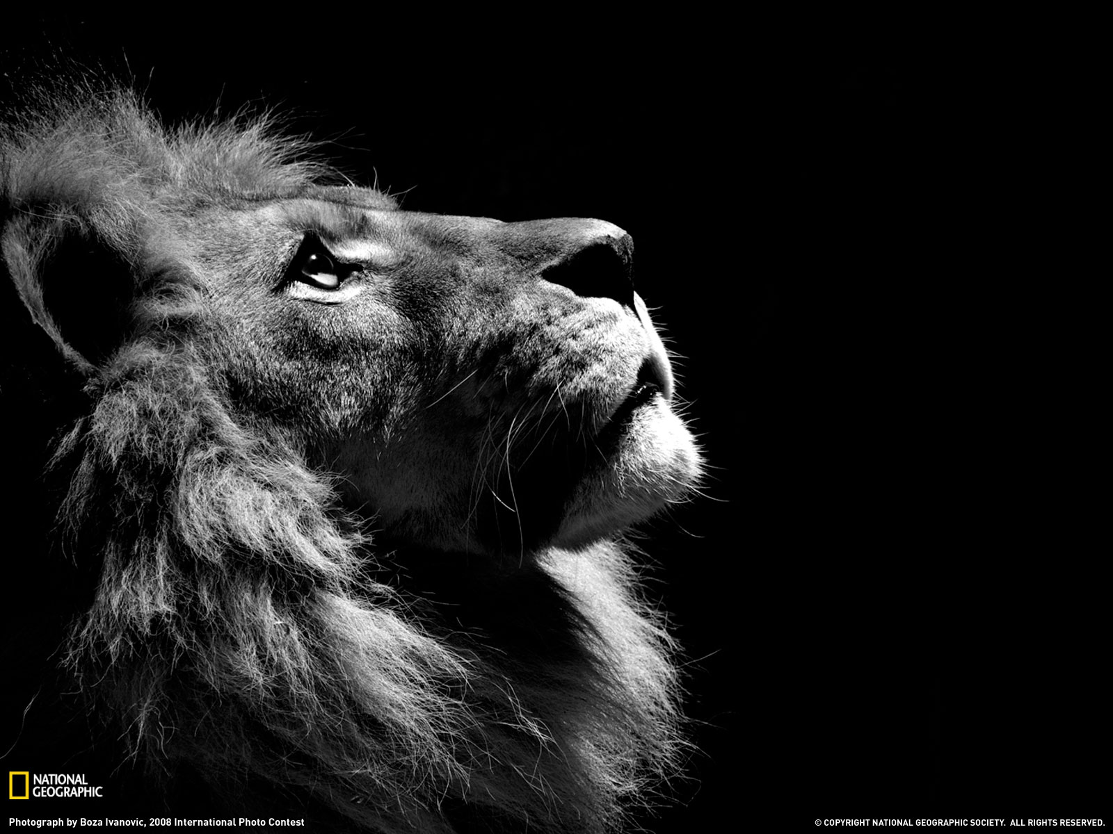 lion_black_white_wallpaper_hd.jpeg
