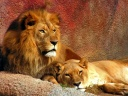 couple de lion wallpaper