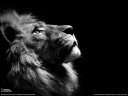 lion black white wallpaper hd