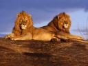 lions savane wallpaper