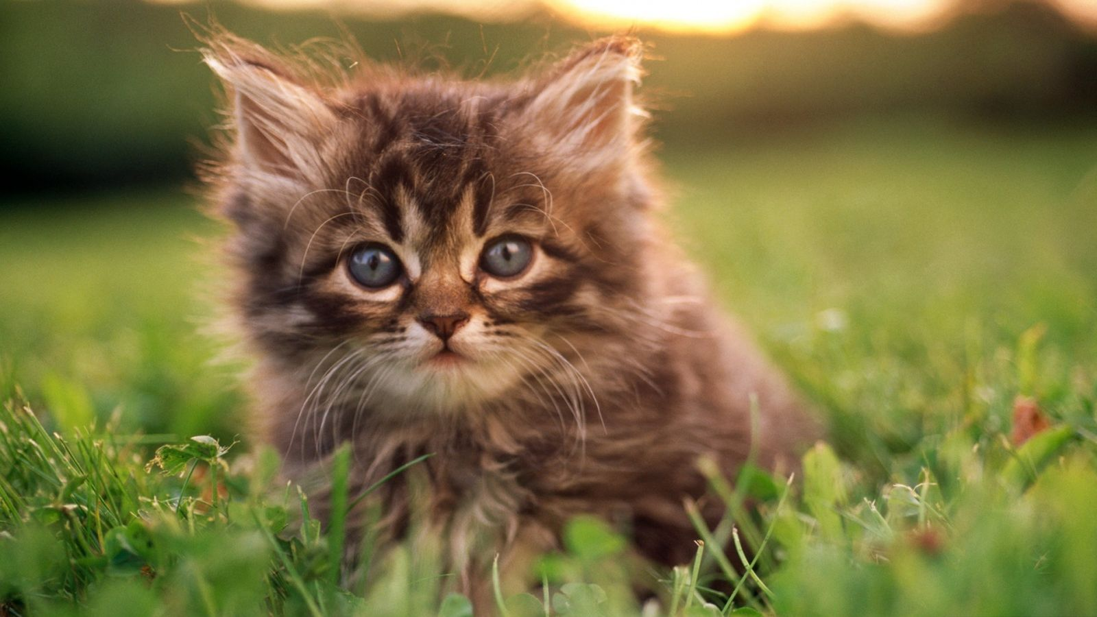 kitten_portrait-wallpaper-1600x900.jpg