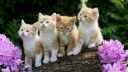 kittens-wallpaper-1600x900