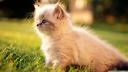 white persian kitten outdoors-wallpaper-1600x900