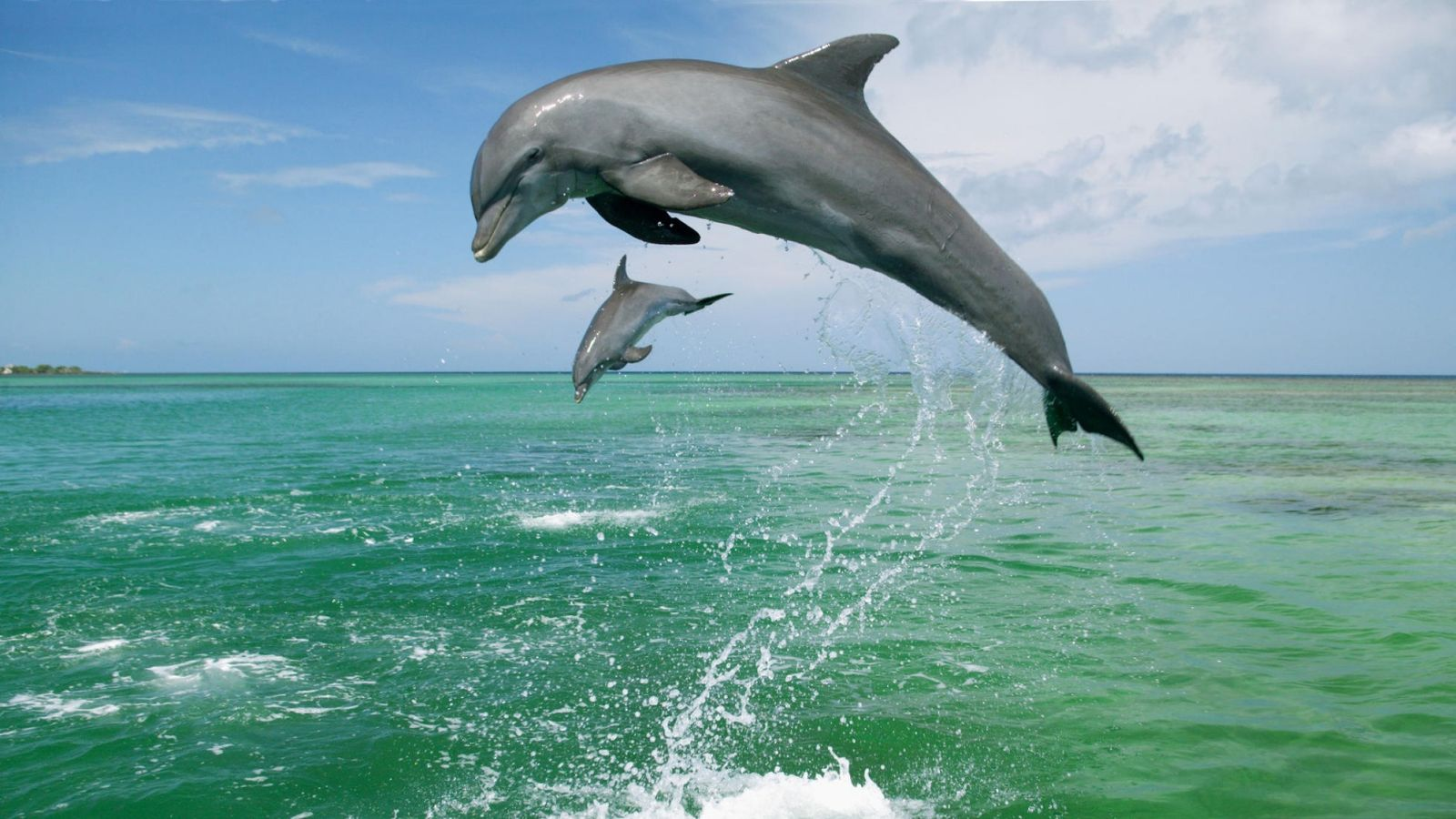 bottlenose_dolphins_tursiops_truncatus_caribbean_sea-wallpaper-1600x900.jpg