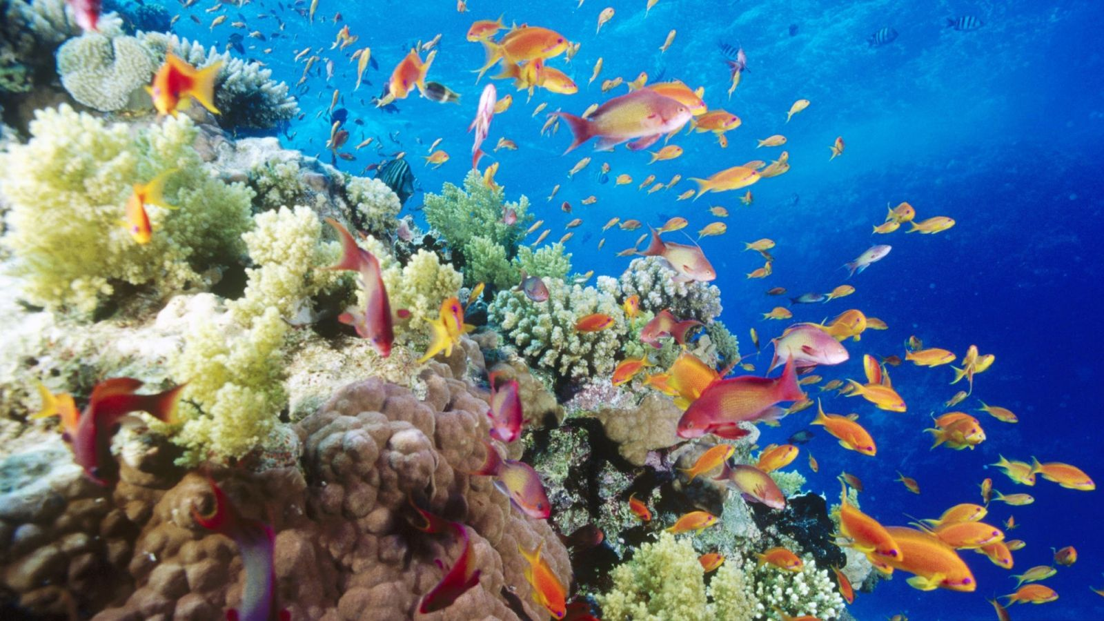 coral_reef_southern_red_sea_near_safaga_egypt-wallpaper-1600x900.jpg