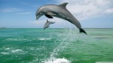bottlenose dolphins tursiops truncatus caribbean sea-wallpaper-1600x900