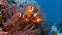 clownfish and sea anemone-wallpaper-1600x900