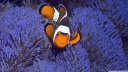 clownfish-wallpaper-1600x900