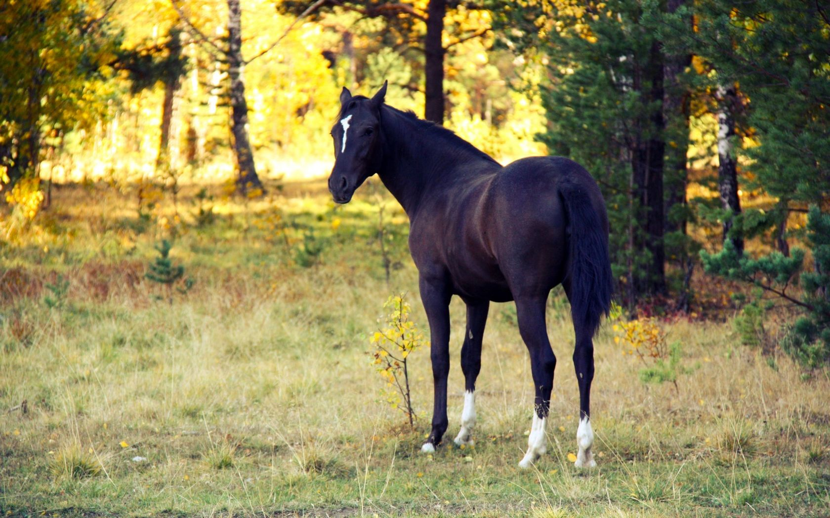 black_horse_3-wallpaper-1680x1050.jpg
