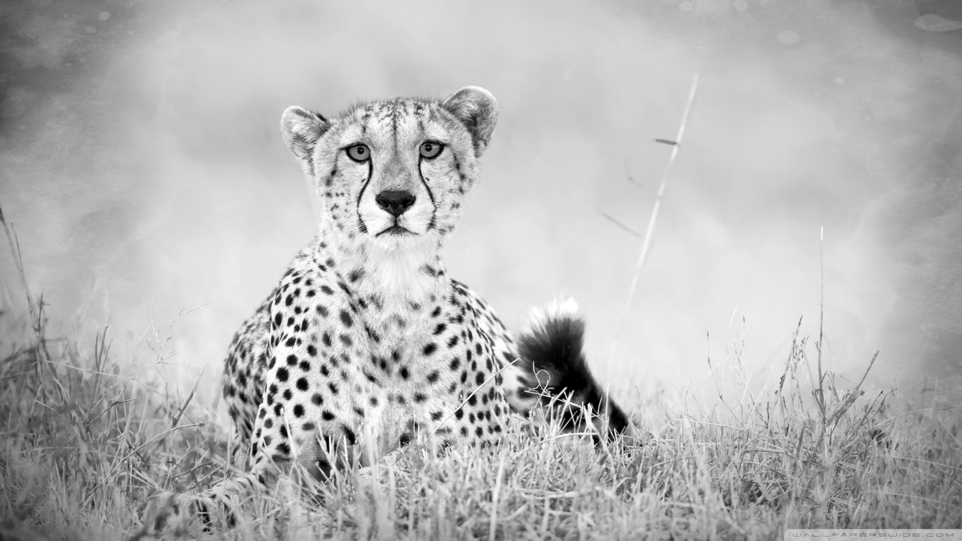 cheetah_monochrome-wallpaper-1920x1080.jpg