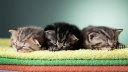 Les 3 chatons photographie