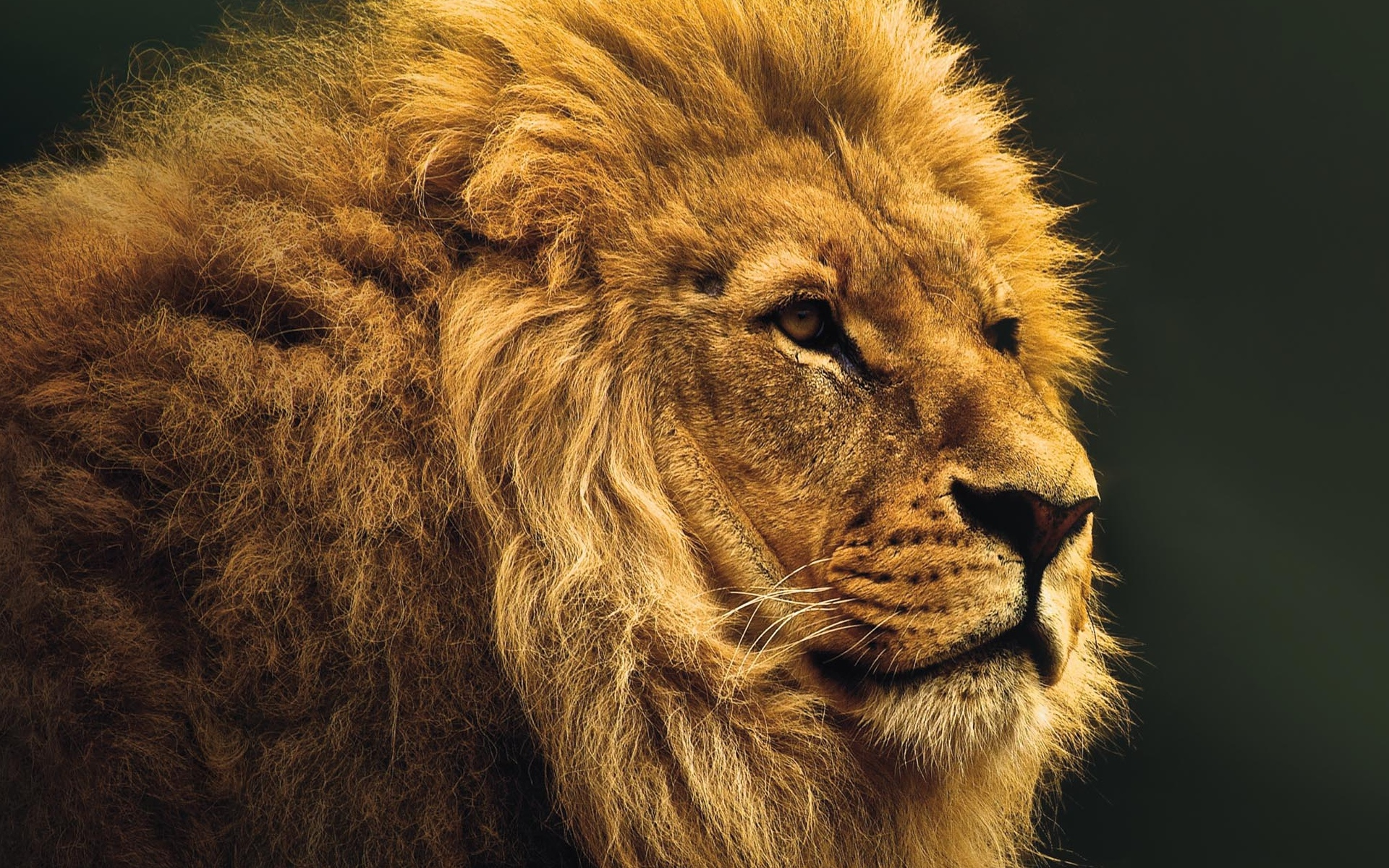 Extrêmement Magnifique Lion - fond écran HD - 10 000 Fonds d'écran HD gratuits  VY35