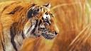 Tigre superbe wallpaper