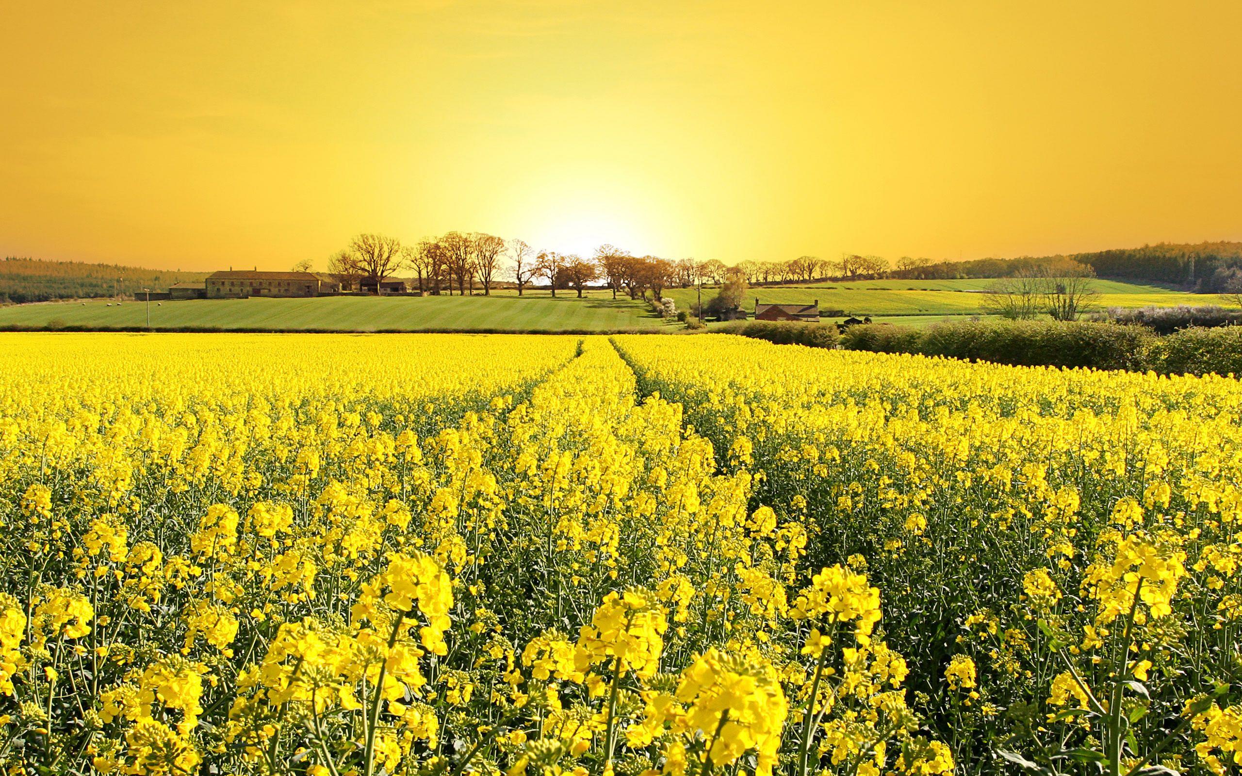 Fleurs jaunes champs HD , 10 000 Fonds d\u0027écran HD gratuits